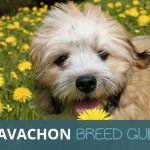 The Cavachon: Ultimate Breed Guide. Characteristics and Facts