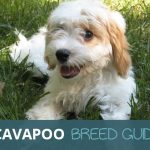 Cavapoo Ultimate Breed Guide: The Cavalier King Charles Spaniel and Poodle Cross