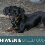 Chiweenie: Chihuahua and a Dachshund Mix