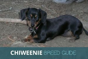 Chiweenie Breed Guide