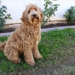 The Labradoodle Ultimate Breed Guide: What You Need To Know