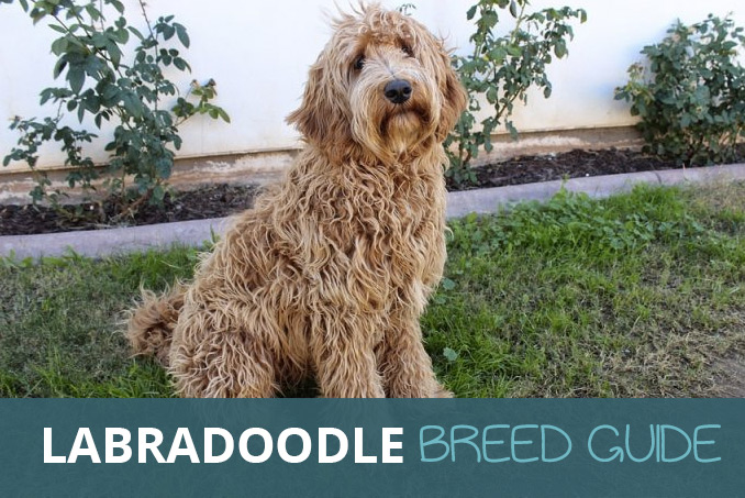 The Labradoodle Ultimate Breed Guide What You Need To Know