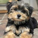 The Morkie: Things You Need to Know About Them (Maltese Yorkie mix)