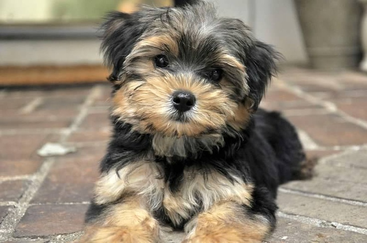 maltese yorkie mix price the morkie things you need to know about them maltese 2466