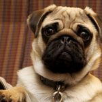Best Gifts for a Pug Owner