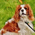 Best Cavalier King Charles Gifts