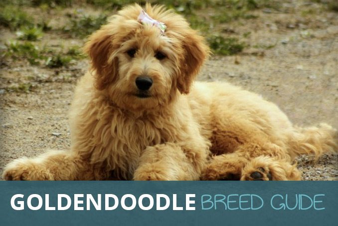 Goldendoodle Breed Guide On The Golden Retriever And Poodle Cross