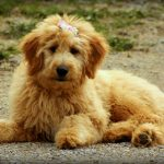 Goldendoodle: Ultimate Breed Guide on The Golden Retriever and Poodle Cross