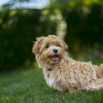 Maltipoo: Ultimate Breed Guide