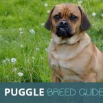 The Puggle: An Ultimate Breed Guide To The Beagle And Pug Cross