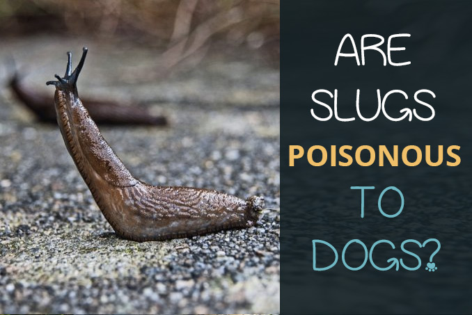 Are Slugs Poisonous To Dogs Lungworm Treatment And