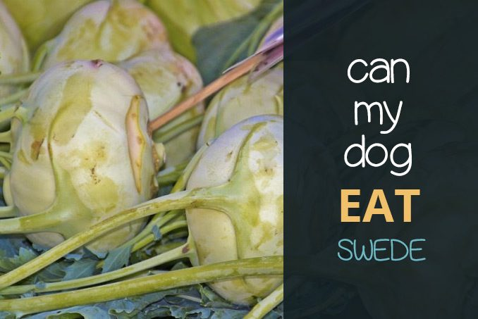 can my dog eat swede