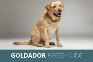goldador breed guide