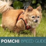 Pomchi: The Ultimate Breed Guide