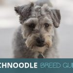 Schnoodle: Ultimate Breed Guide