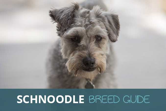 Car Ramps For Sale >> Schnoodle [Miniature Schnauzer and Poodle Cross Breed]