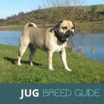 The Jug: Pug and Jack Russell Cross Breed Guide