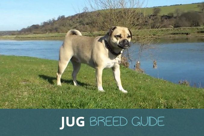 The Jug Pug And Jack Russell Cross Breed Guide Pooching Around