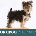 Yorkipoo: Ultimate Guide To This Eternally Happy Breed