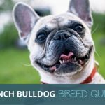 French Bulldog: The Ultimate Breed Guide To The World's Cutest Pup