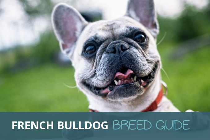 French Bulldog Facts Videos And Breed Advice Pooching
