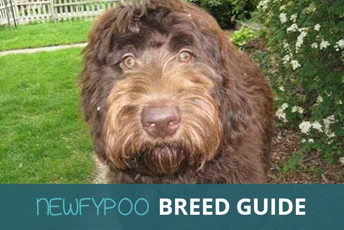 newfypoo breed guide