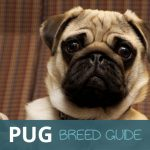 The Pug: The Ultimate Pooch Guide