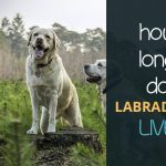 How Long Do Labradors Live?