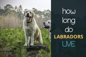 how long do labradors live
