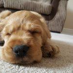 How Long Do Dogs Sleep?