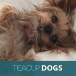 Teacup Dogs: What You Need To Know