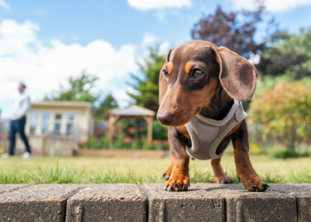 the best harness for dachshunds
