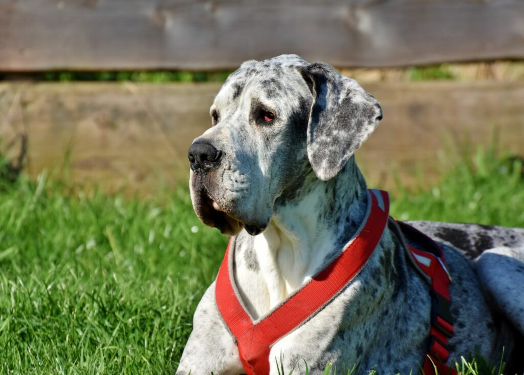 best harness for Great Danes