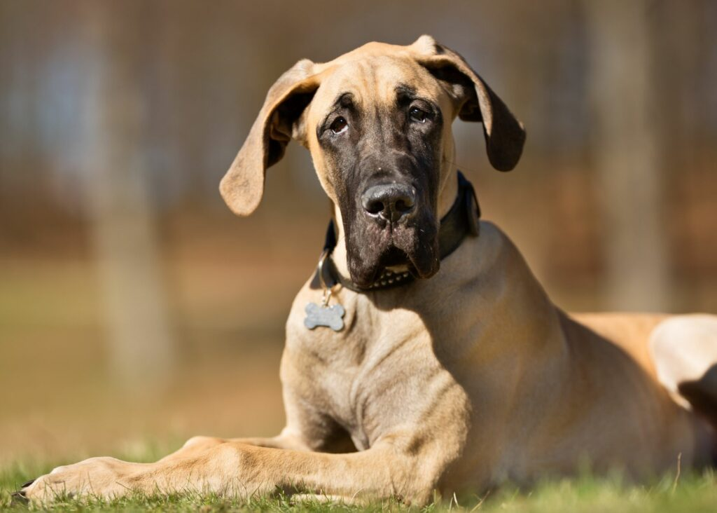 what is the best harness for Great Danes