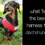 What is The Best Harness for Dachshunds?