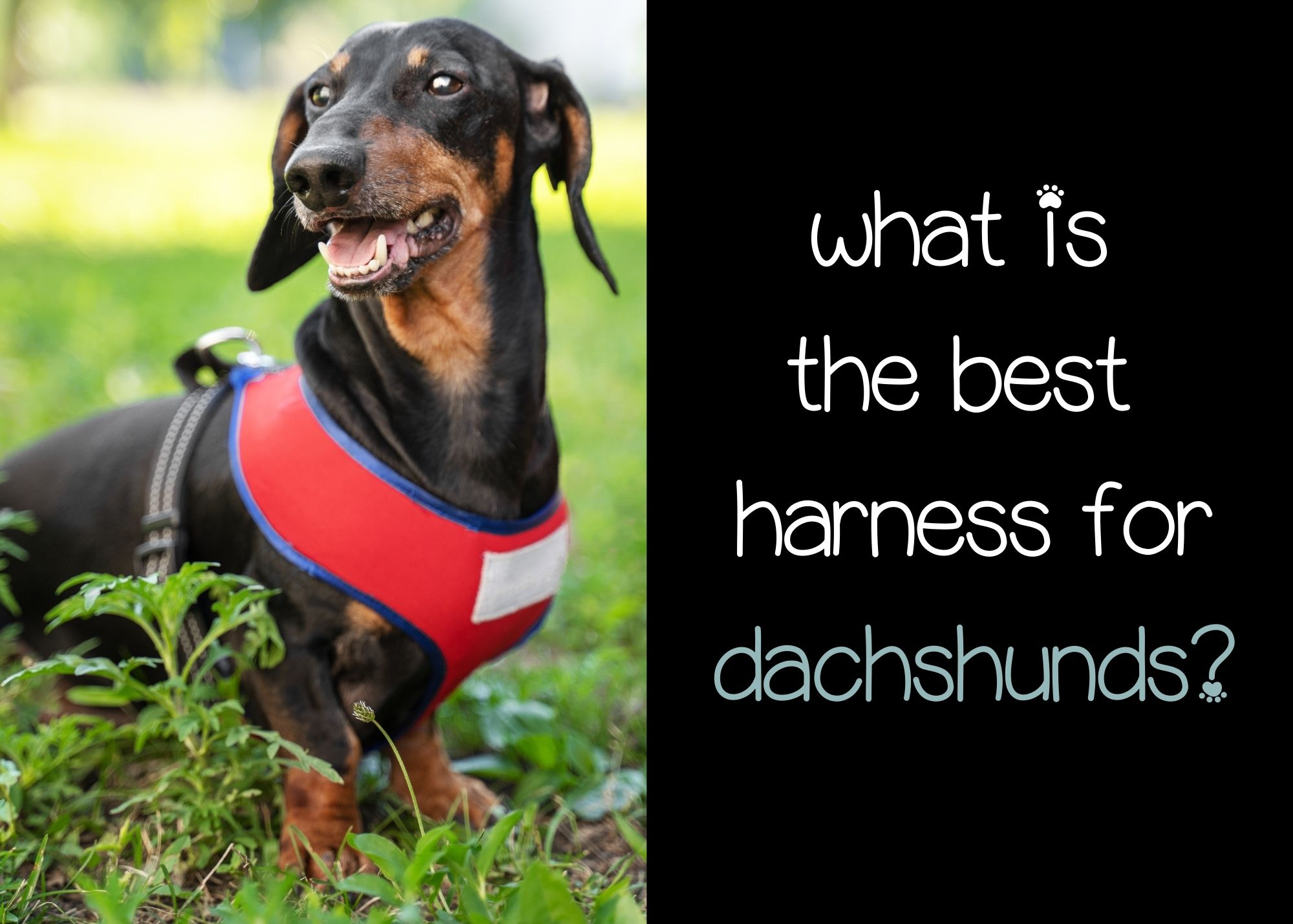 what is the best harness for dachshunds