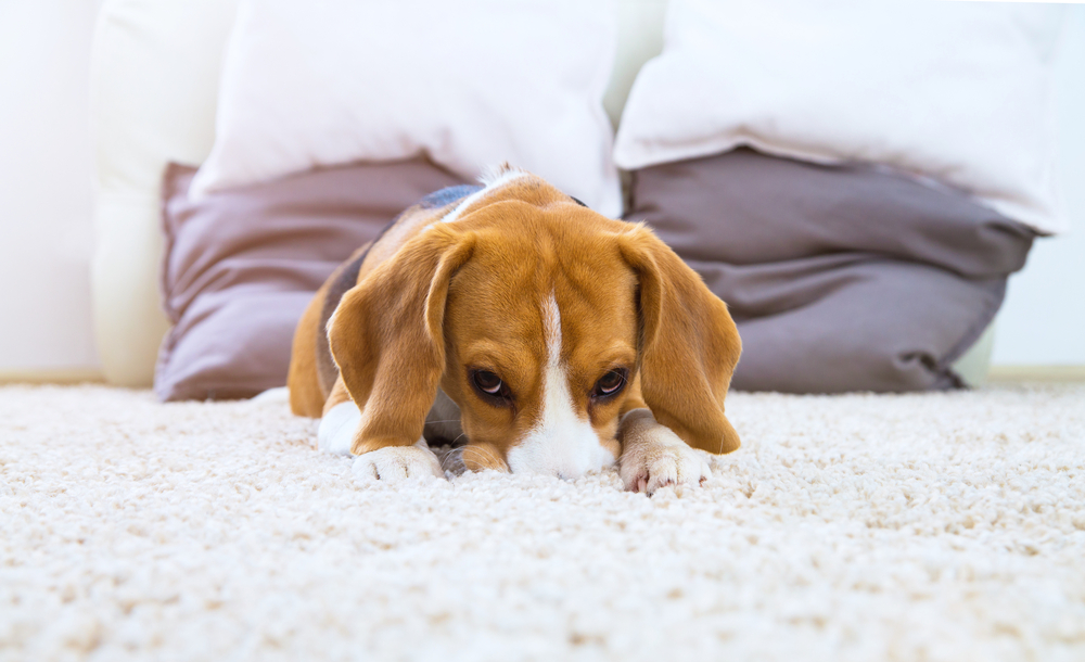 Why does my dog lick the carpet?